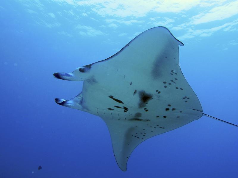 manta-ray-kona-coast-hawaii_4940959_m